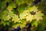 Vine Maple 2010