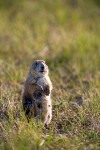 Prairie Dog Female
